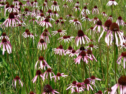 image of Echinacea simulata, Prairie Purple Coneflower, Wavy-leaf Purple Coneflower