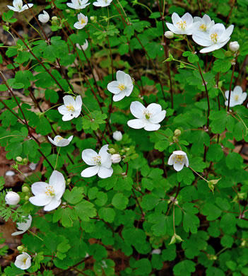 image of Enemion biternatum, False Rue-anemone, Isopyrum