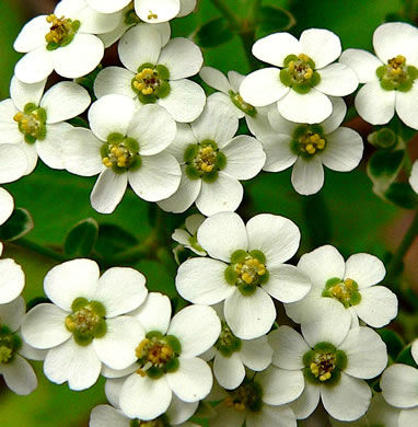 image of Euphorbia corollata, Eastern Flowering Spurge