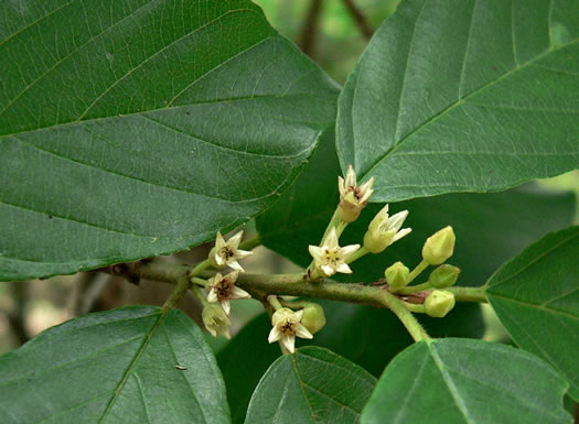 flower of Frangula caroliniana, Carolina Buckthorn, Polecat-tree, Indian Currant
