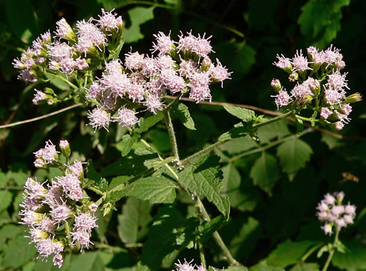 image of Fleischmannia incarnata, Pink Thoroughwort, Pink Eupatorium