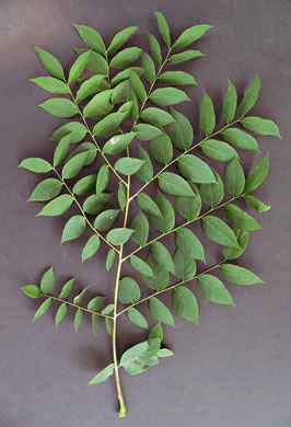 bipinnately or tripinnately compound leaves of trees: Gymnocladus dioicus, Gymnocladus dioicus, Gymnocladus dioica
