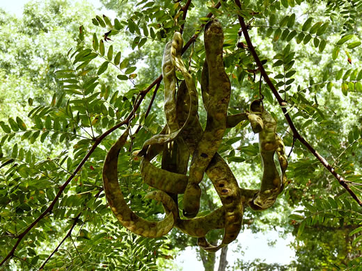 image of Gleditsia triacanthos, Honey Locust