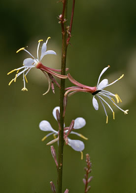 image of Oenothera filipes, Threadstalk Gaura