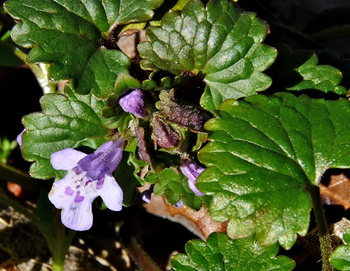 crenate: Glechoma hederacea, Ground Ivy, Gill-over-the-ground, Creeping Charlie