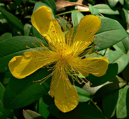 flower of Hypericum calycinum, Aaron's Beard
