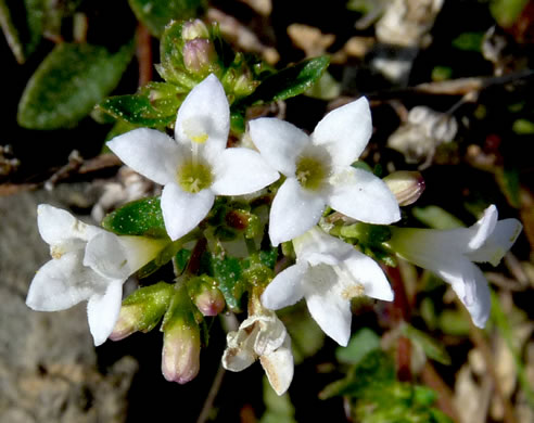 image of Houstonia canadensis, Canada Bluet