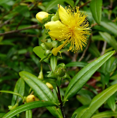 image of Hypericum densiflorum var. densiflorum, Mountain Bushy St. Johnswort, Dense-flowered St. Johnswort