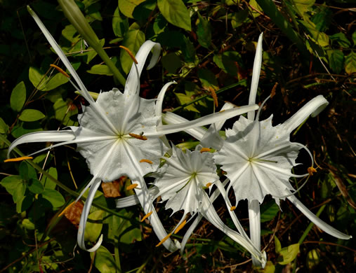image of Hymenocallis occidentalis var. occidentalis