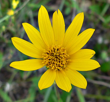 image of Helianthus occidentalis ssp. occidentalis, Naked-stem Sunflower