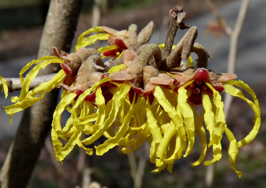 calyx: Hamamelis vernalis, Vernal Witch-hazel, Ozark Witch-hazel, Springtime Witch-hazel