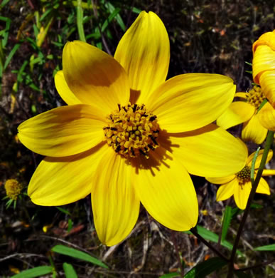 anther: Helianthus porteri, Confederate Daisy