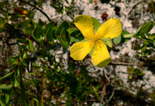 picture of Hypericum stans, image of Hypericum crux-andreae