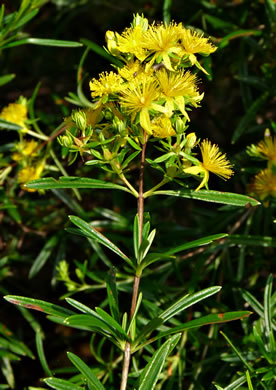image of Hypericum densiflorum var. interior, Interior Bushy St. Johnswort