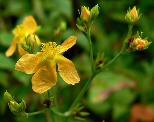 flower of Hypericum virgatum, Strict St. Johnswort