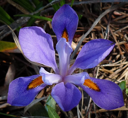 image of Iris verna var. smalliana