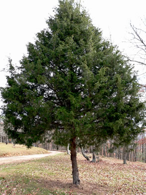 image of Juniperus virginiana, Eastern Red Cedar