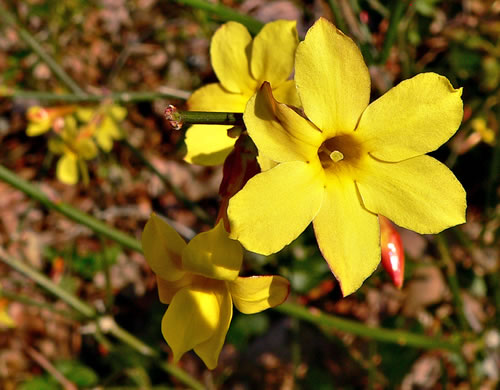 flower of Jasminum nudiflorum, Winter Jasmine