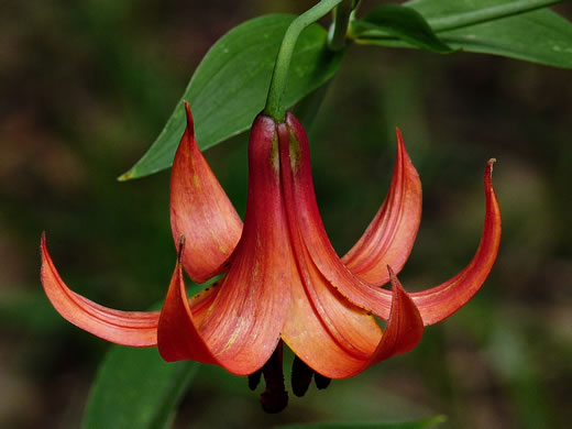 flower of Lilium canadense var. editorum, Red Canada Lily