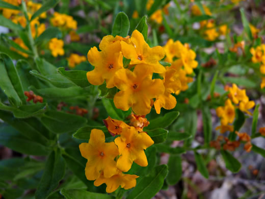 picture of Lithospermum canescens, image of Lithospermum canescens