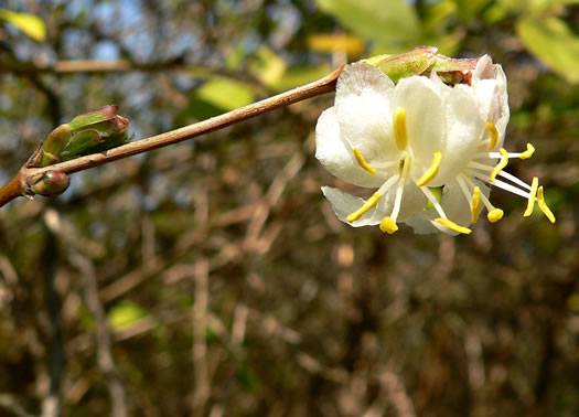 image of Lonicera fragrantissima, Sweet-breath-of-spring, Winter Honeysuckle