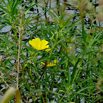 image of Ludwigia hexapetala, Common Water-primrose
