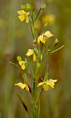 image of Lysimachia quadriflora, Prairie Loosestrife, Smooth Loosestrife, Four-flowered Loosestrife