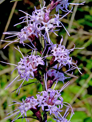 image of Liatris virgata, wand blazing star