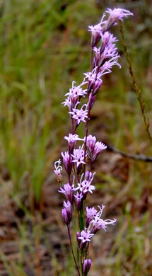 image of Liatris tenuifolia, Shortleaf Blazing-star, Shortleaf Gayfeather, Slender Blazing-star