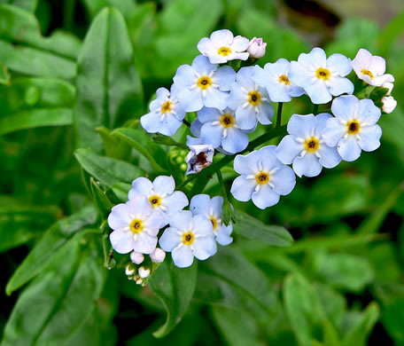 image of Myosotis scorpioides, Water Scorpion-grass, True Forget-me-not
