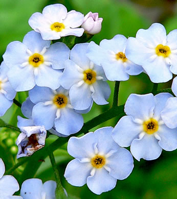 flower of Myosotis scorpioides, Water Scorpion-grass, True Forget-me-not