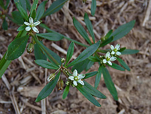 image of Mollugo verticillata, Carpetweed, Indian-chickweed