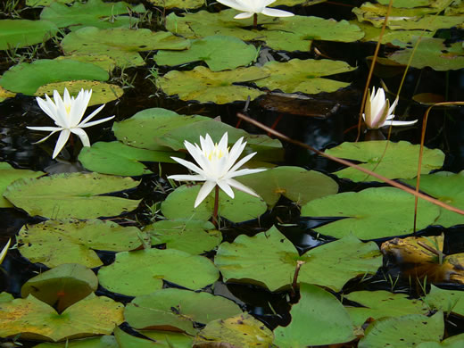 image of Nymphaea odorata ssp. odorata, Fragrant White Water-lily, American Water-lily, Sweet Water-lily