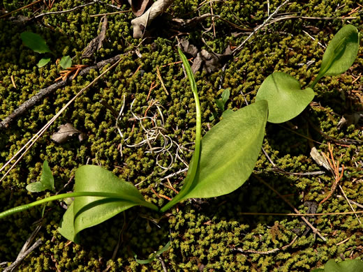 image of Ophioglossum engelmannii, Engelmann's Adder's-tongue, Limestone Adder's-tongue