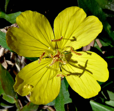 flower of Oenothera fruticosa +, Southern Sundrops, Narrowleaf Sundrops