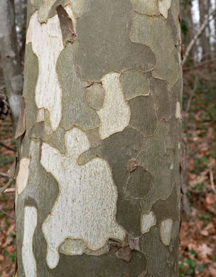image of Platanus occidentalis, American Sycamore, Planetree