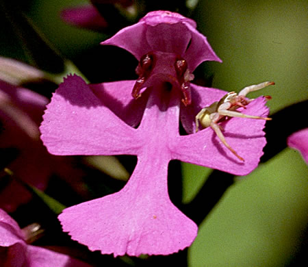 flower of Platanthera peramoena, Purple Fringeless Orchid, Purple Spire Orchid, Pride-of-the-peak