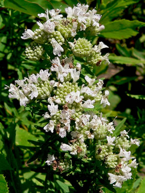 image of Pycnanthemum virginianum, Virginia Mountain-mint