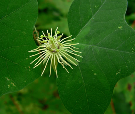 image of Passiflora lutea, Yellow Passionflower