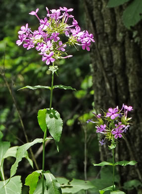 image of Phlox amplifolia, Broadleaf Phlox