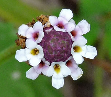 flower of Phyla nodiflora, Creeping Frogfruit, Capeweed, Turkey-tangle