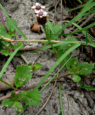 image of Phyla nodiflora, Creeping Frogfruit, Capeweed, Turkey-tangle
