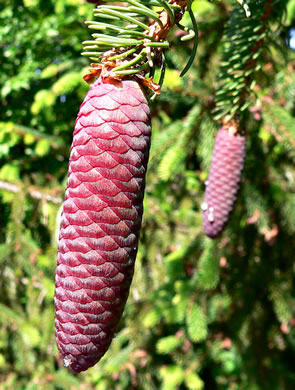Picea abies, Norway Spruce