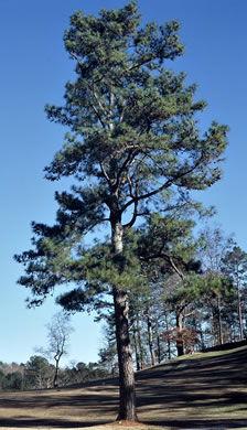 image of Pinus taeda, Loblolly Pine, Old Field Pine