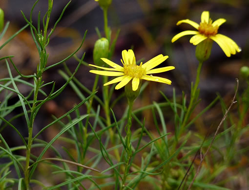 Pityopsis pinifolia, Sandhills Golden-aster, Taylor County Golden-aster