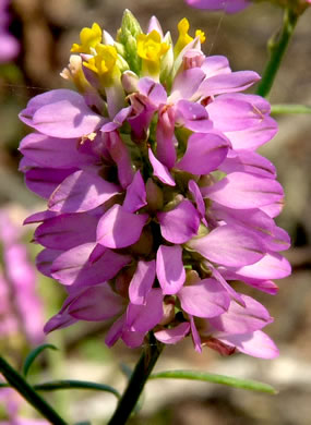 flower of Polygala curtissii, Appalachian Milkwort, Curtiss' Milkwort