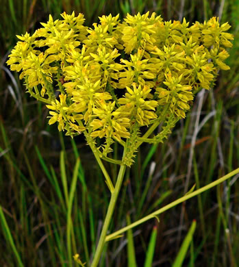 image of Polygala cymosa, Tall Milkwort, Tall Pinebarren Milkwort