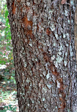 image of Prunus alabamensis, Alabama Black Cherry