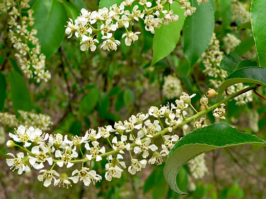 image of Prunus serotina var. serotina, Black Cherry, Eastern Wild Black Cherry, Bird Cherry