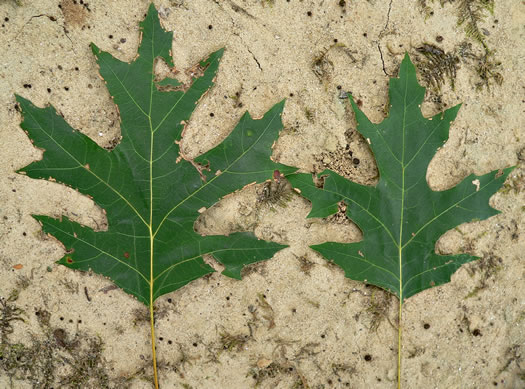 leaves of Pin Oak, Scarlet Oak, Shumard Oak and Texas Oak: Quercus coccinea, Quercus coccinea +, Quercus coccinea